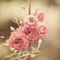 roseauobsessed