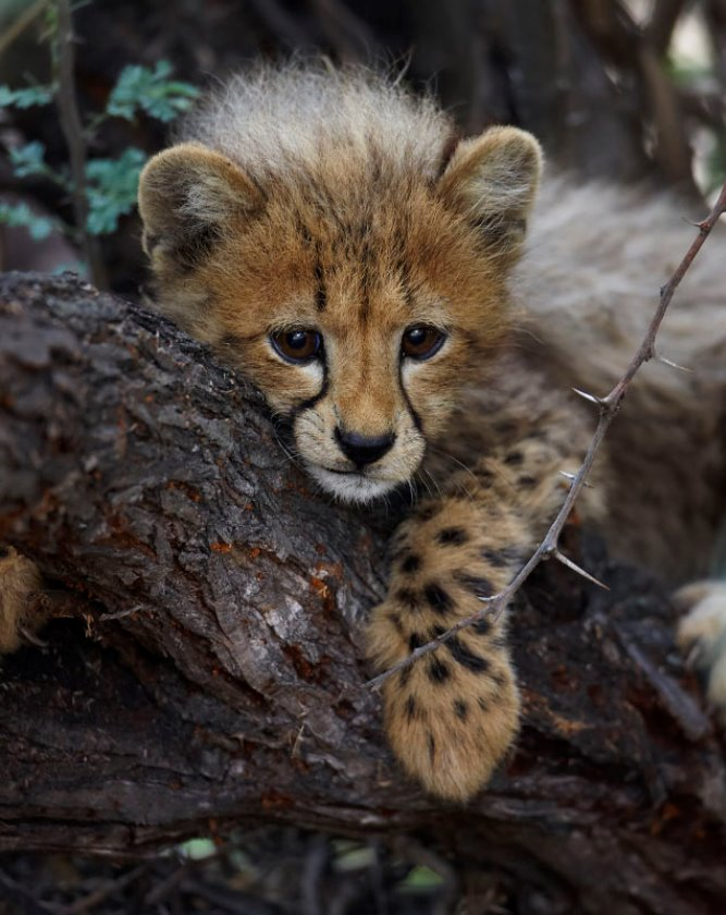 THE MISSING CUB  stories