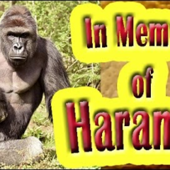 HARAMBE for you I weep harambe2016 stories