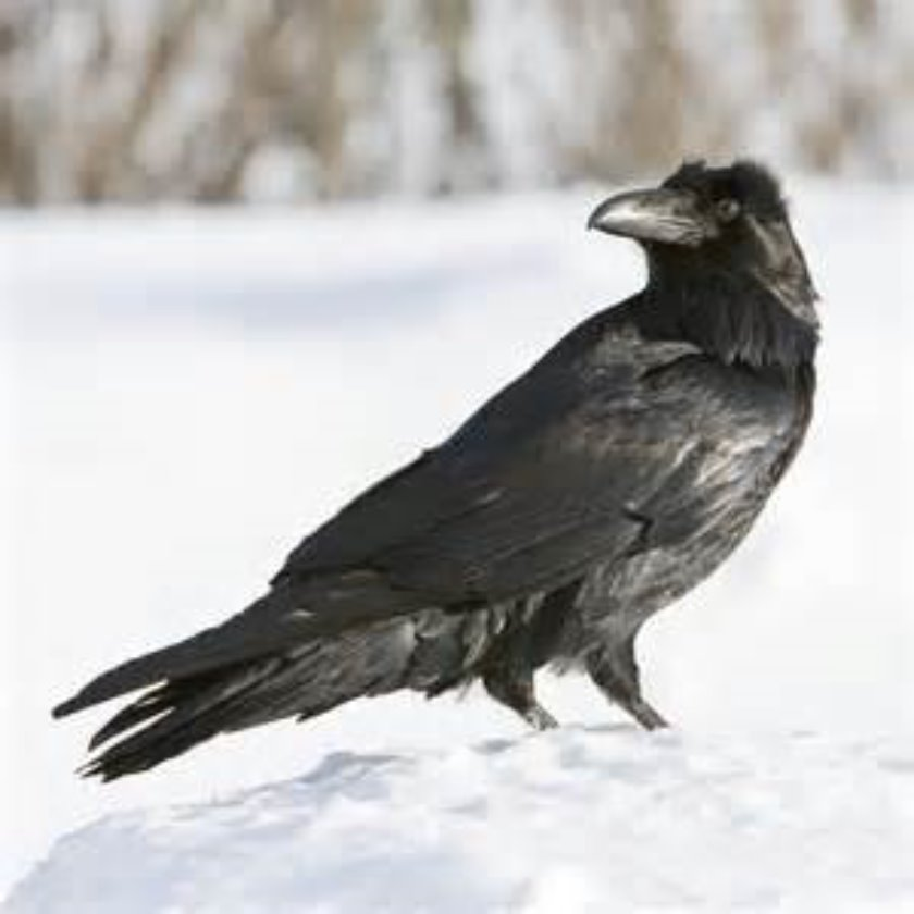 Raven In The Snow vole stories