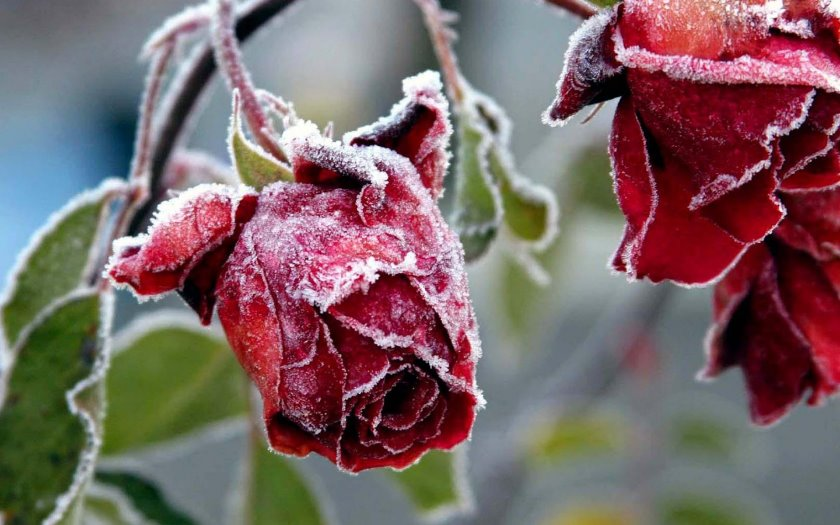 A Frosty Rose poetry stories